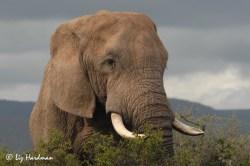 Elephant-tusks