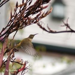 Female-Greater-Double-collared-Sundbird.