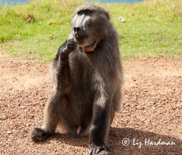 Merlin is an elderly male baboon, probably one of the oldest surviving. He is age is estimated to be 18 / 19 years.