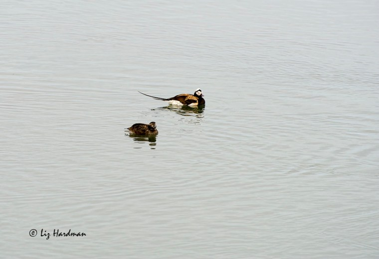Longtail ducks