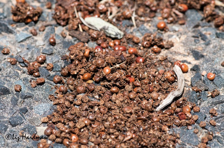 Scat showing the partially digested berries.