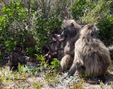 Baboon mothers show a gentle patience with their offspring.