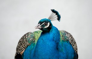 The glorious feathers, a peacock's mating accoutrements
