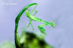 Praying mantis_vivid