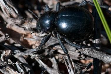 A Tenebrionid or toktokkie beetle.