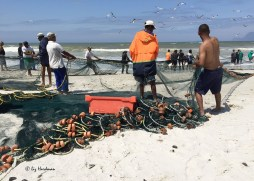 A crowd of helpers assist in pulling in the nets.