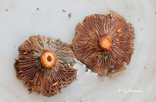 Pine_ring_mushrooms_02