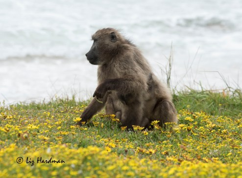 Chacma_baboon_female_in_the_daisies