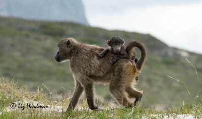 Chacma_baboon_baby_riding