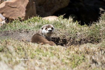 Cape Clawless Otter_04