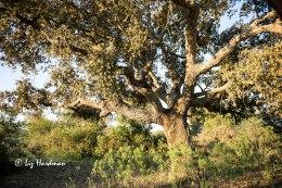 Cork oaks, mastic shrubs