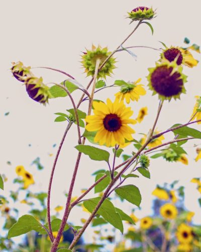 small yellow sunflowers on a grey background rustic photo