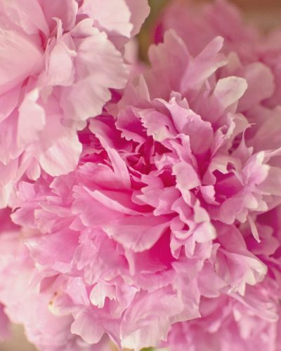 pink large peony bouquet close up