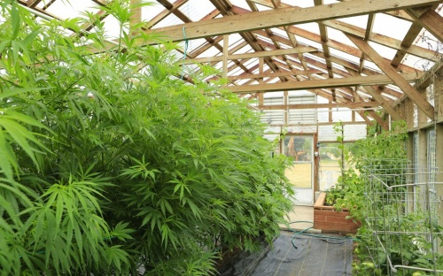 cannabis-greenhouse