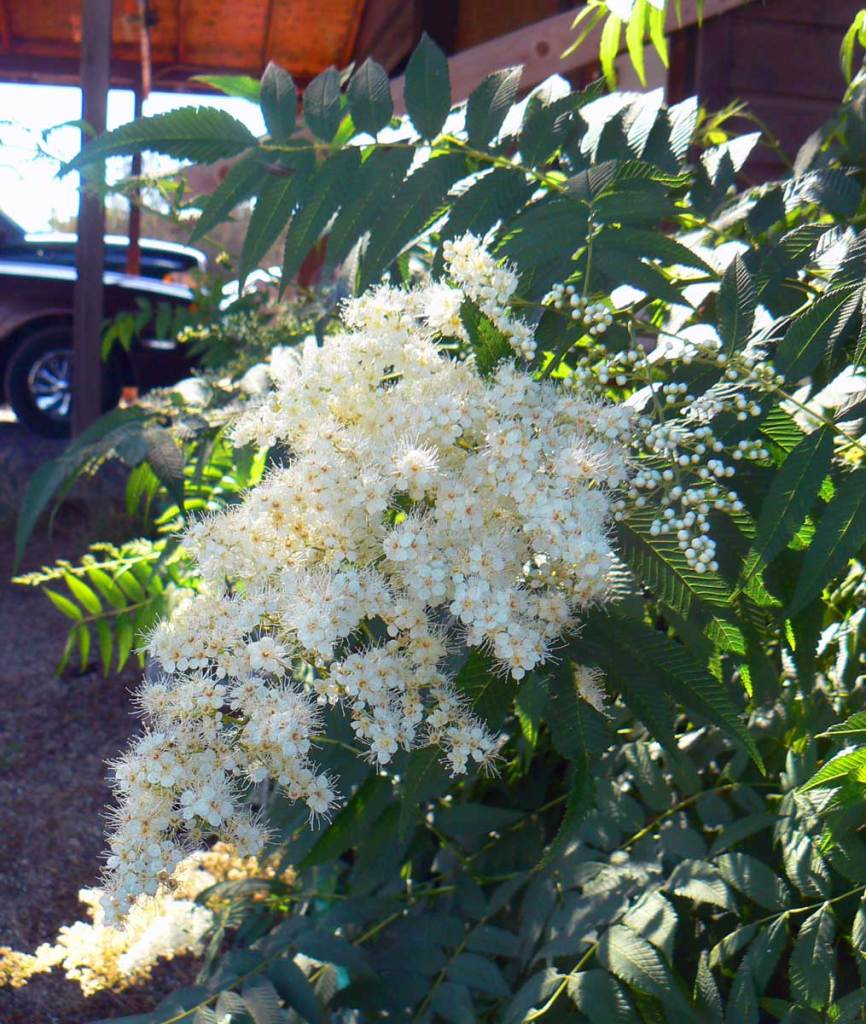 ash-leaf-spirea-east-bend