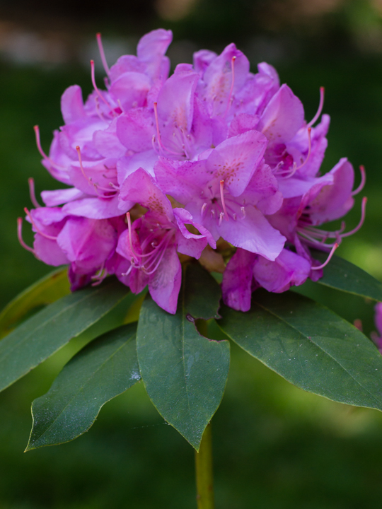 Grayanotoxins Of Rhododendrons And Mad Honey Nature S Poisons