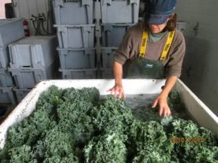 Week 34 - Ruth washing Kale.