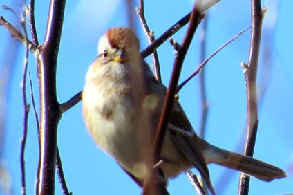 American Tree Sparrow. Another northern visitor, they can commonly be found in mixed flocks with White-crowned Sparrows. Photo: Pinello Ranch.