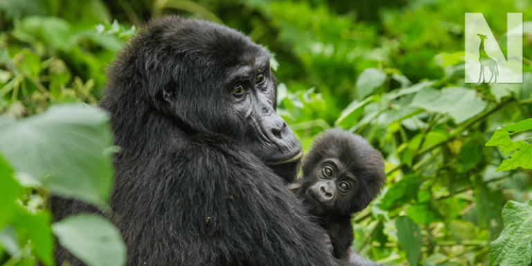 Uganda Chimpanzee and Gorilla Safari