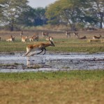Kafue Lechwe in Kafue NP