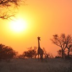 Sunset scene with Giraffe