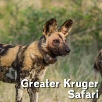 Kurger Safari