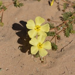 Flowers-of-the-Kalahari-(2)