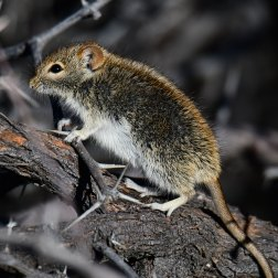 Four-striped-Grass-Mouse