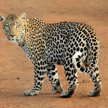 Leopard with Nature Travel Africa