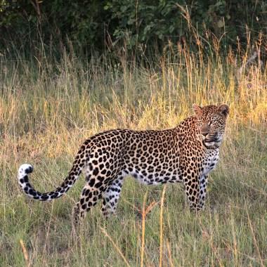 Leopard-in-Hluhluwe
