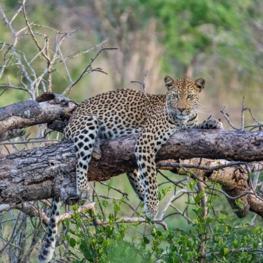 Leopard-in-Mkuze