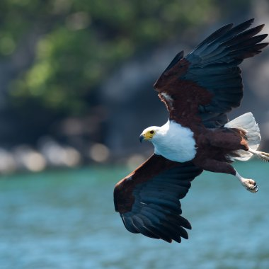 African-Fish-Eagle-at-Lake-Malawi - Copy