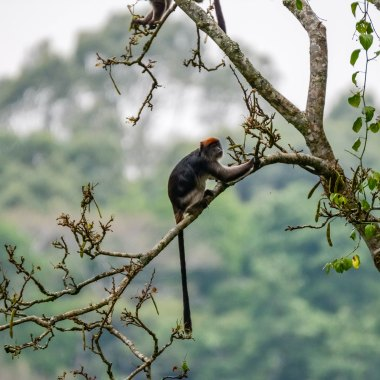 Ashy-Red-Colobus-in-Kibale - Copy