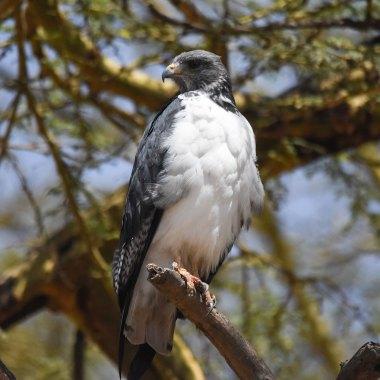 Augur-Buzzard-at-Lake-Manyara