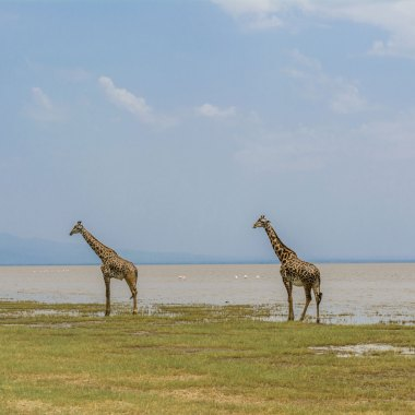 Giraffes-at-Lake-Manyara