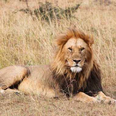 Lion-in-the-Serengeti-(3)