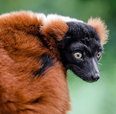 Red-Ruffed-Lemur