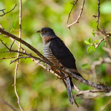 Red-chested-Cuckoo-in-the-Usambaras