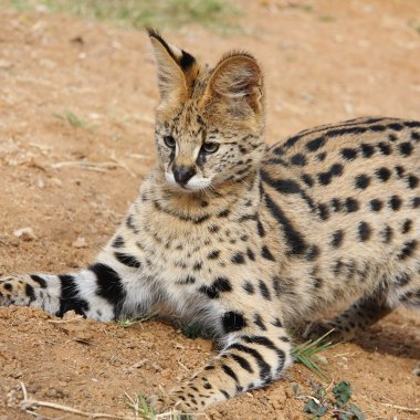 Serval-in-the-Serengeti