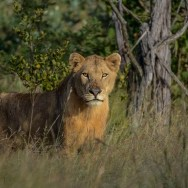 Young-male-lion-02Transport-dam-access-road