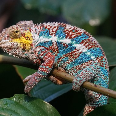 Chameleons-of-Madagascar-(2)