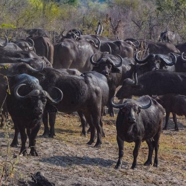 African-Buffalo-herd-in-Bwabwata