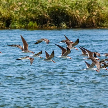 African-Skimmers-over-the-Zambezi