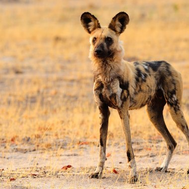 African-Wild-Dog-in-Hwange