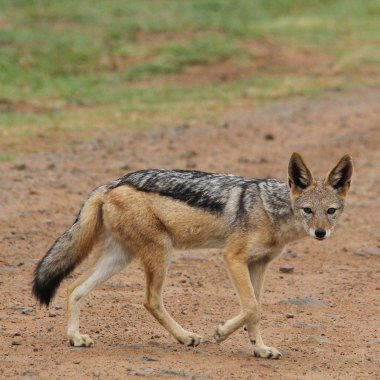 Black-backed-Jackal-in-Hwange