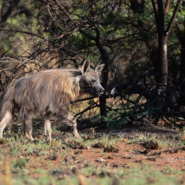 Brown-Hyaena-in-Hwange