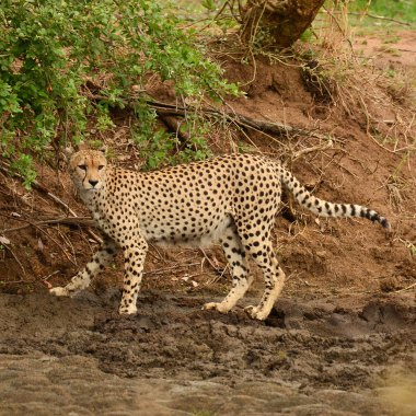 Cheetah-in-Hwange
