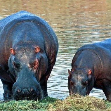 Hippopotamus-in-Mamili