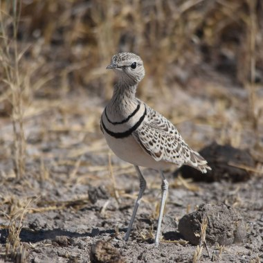 Double-banded-Courser-in-Etosha