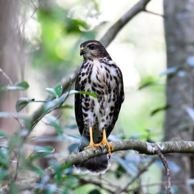 African-Goshawk-in-the-forests-of-the-Bvumba-mountains